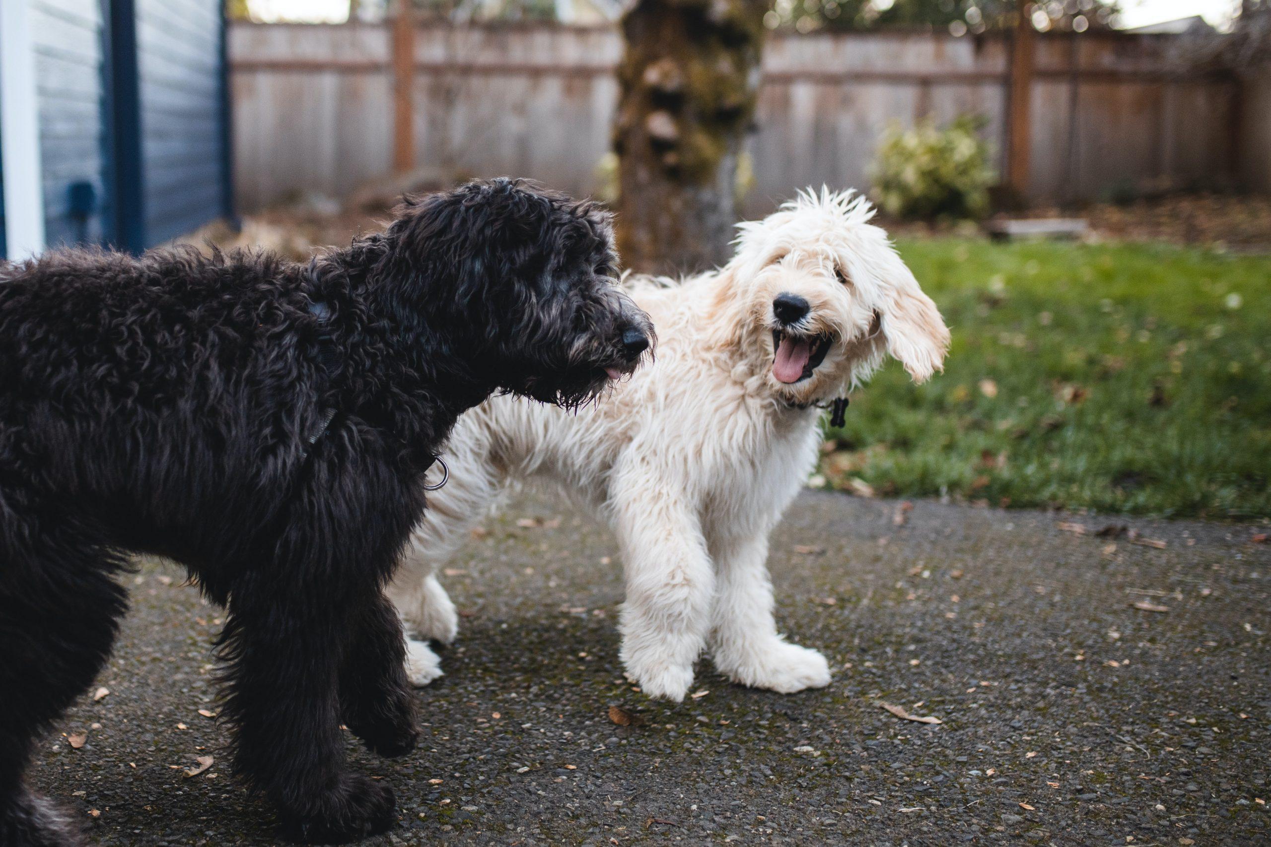 perro negro y perro blanco jugando