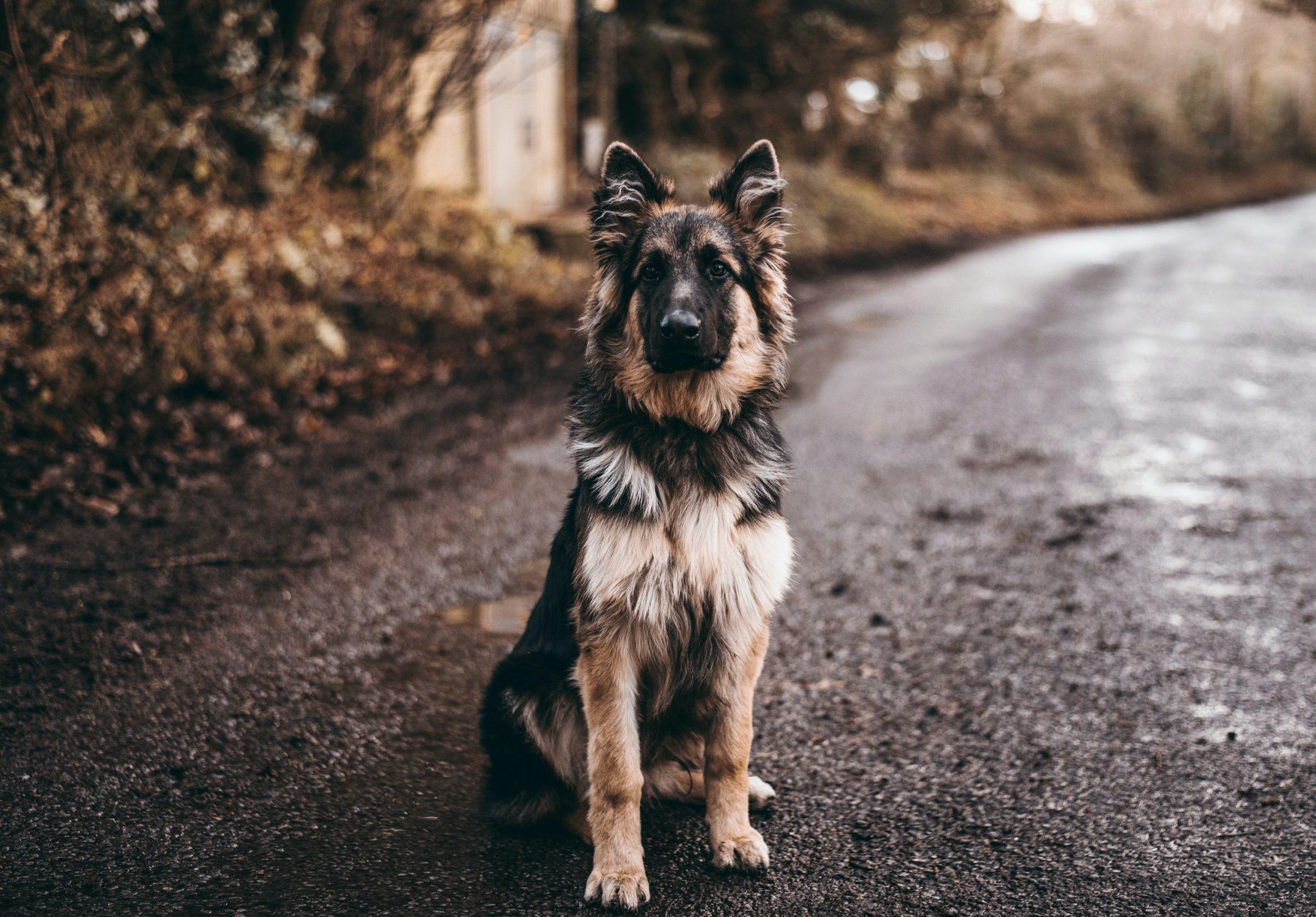 pastor alemán sentado en carretera