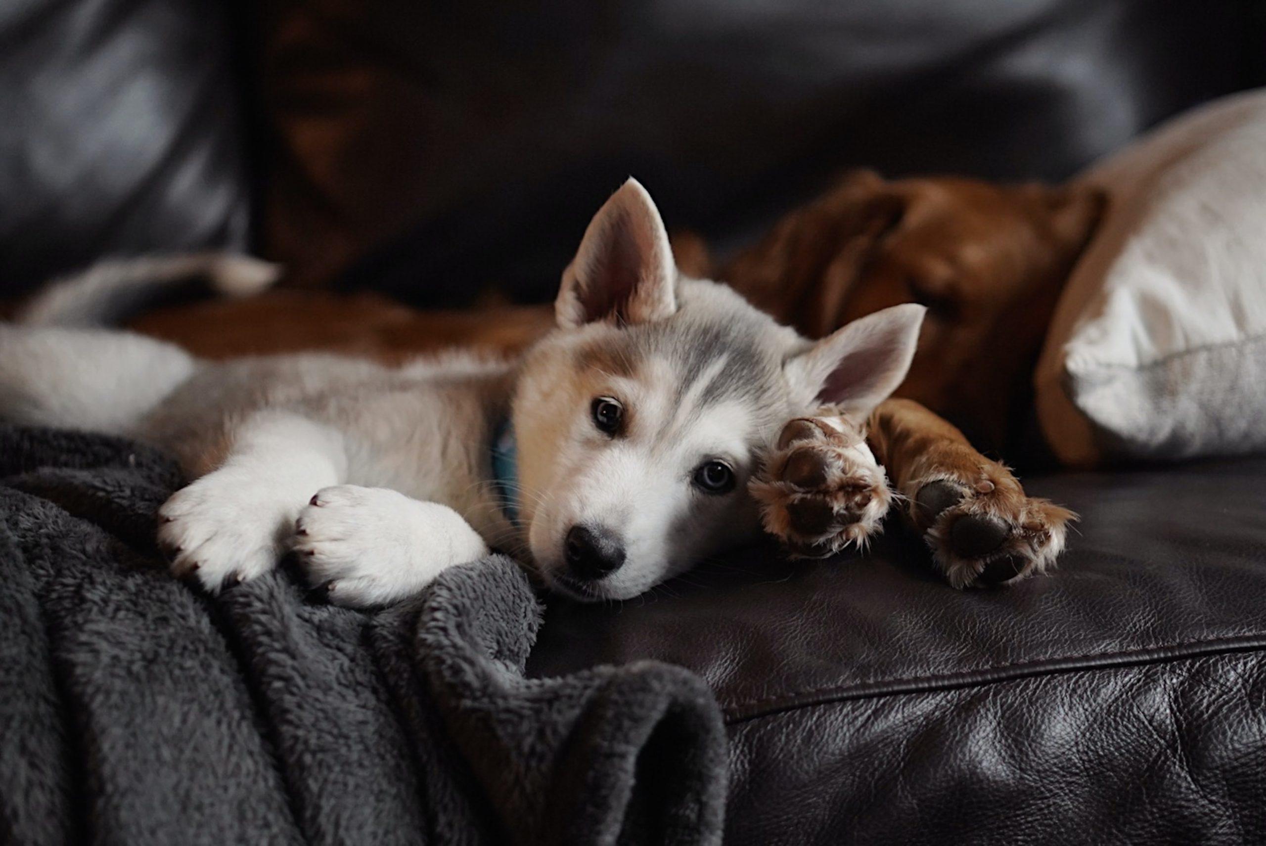 dos cachorros en sofá