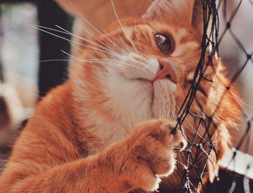 Lo que debes saber antes de adoptar un gato