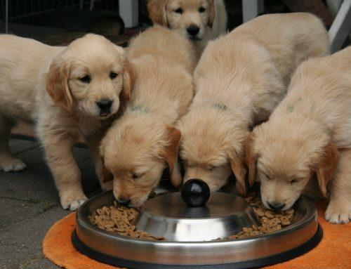 El mejor pienso para perros… ¿Es realmente bueno?