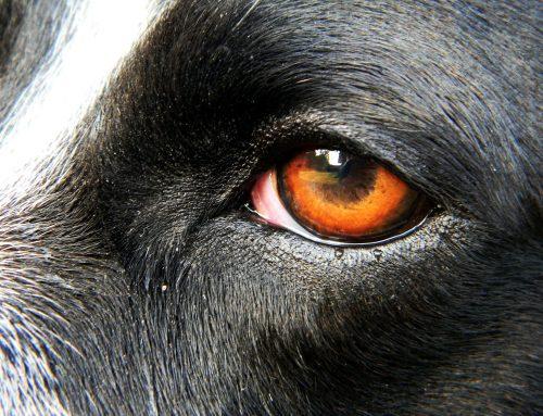 Conjuntivitis en perros, sintomas y tratamiento