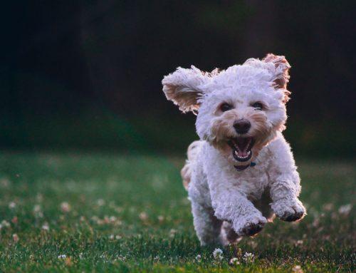 Verrugas en perros