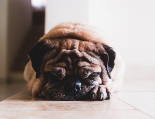 ¿Se le puede dar ibuprofeno a un perro?
