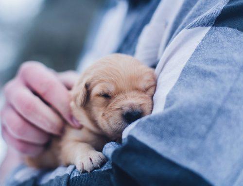 El embarazo en perros