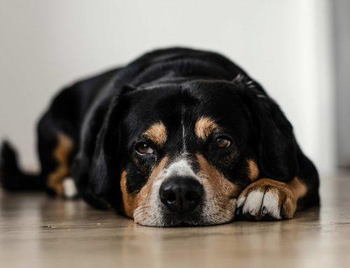 Tos en perros: síntomas, causas y tratamiento