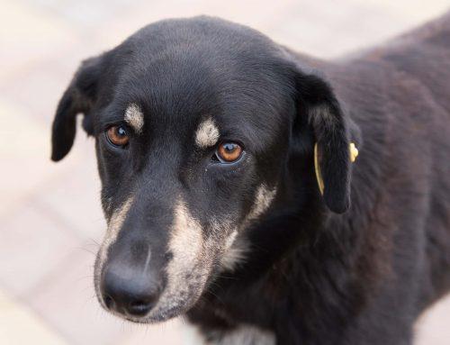 Pulgas en perros: cómo detectarlas y eliminarlas