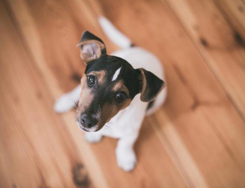 Todo sobre el jack russell terrier:  características, personalidad y cuidados