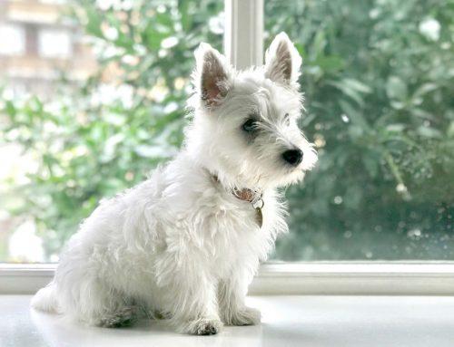 Todo sobre el West Highland White Terrier:  características, personalidad y cuidados