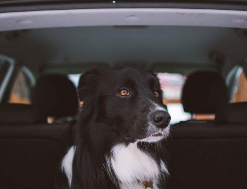 ¿Cómo transportar un perro en coche?