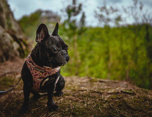 El bulldog francés: características y cuidados