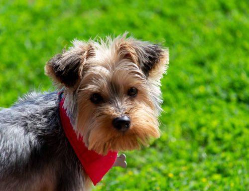 Yorkshire Terrier: Características y cuidados