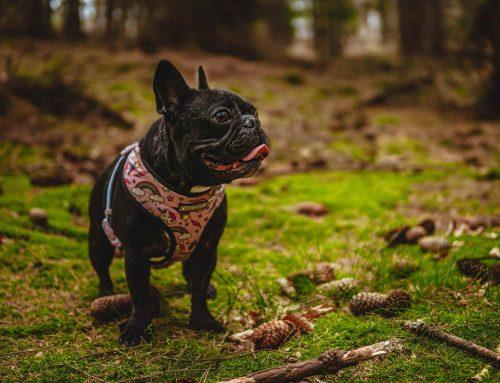 ¿Cómo reducir la ansiedad y mejorar  el bienestar del bulldog francés?