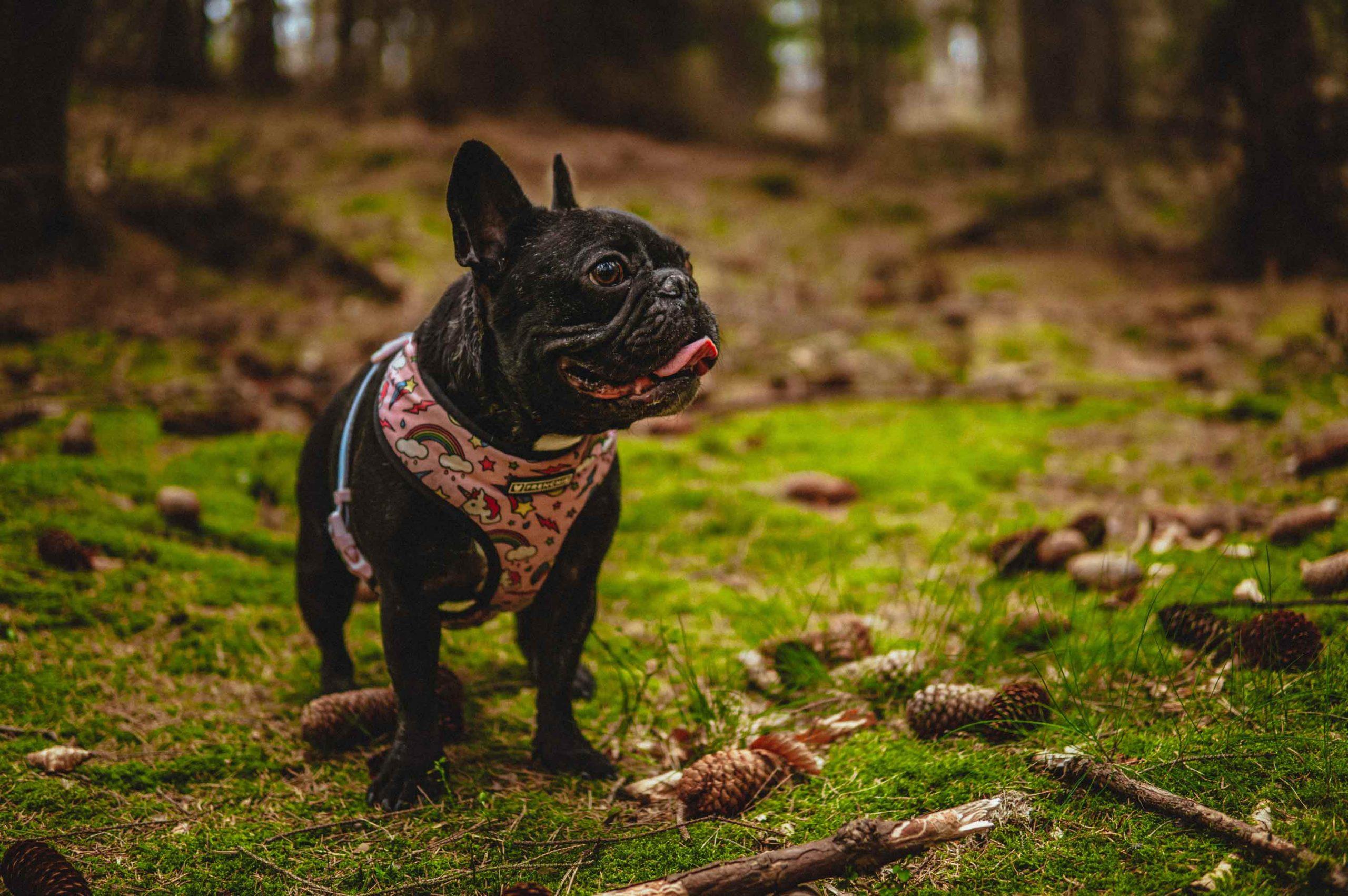 Cómo Reducir La Ansiedad Del Bulldog Francés Y Mejorar Su Bienestar
