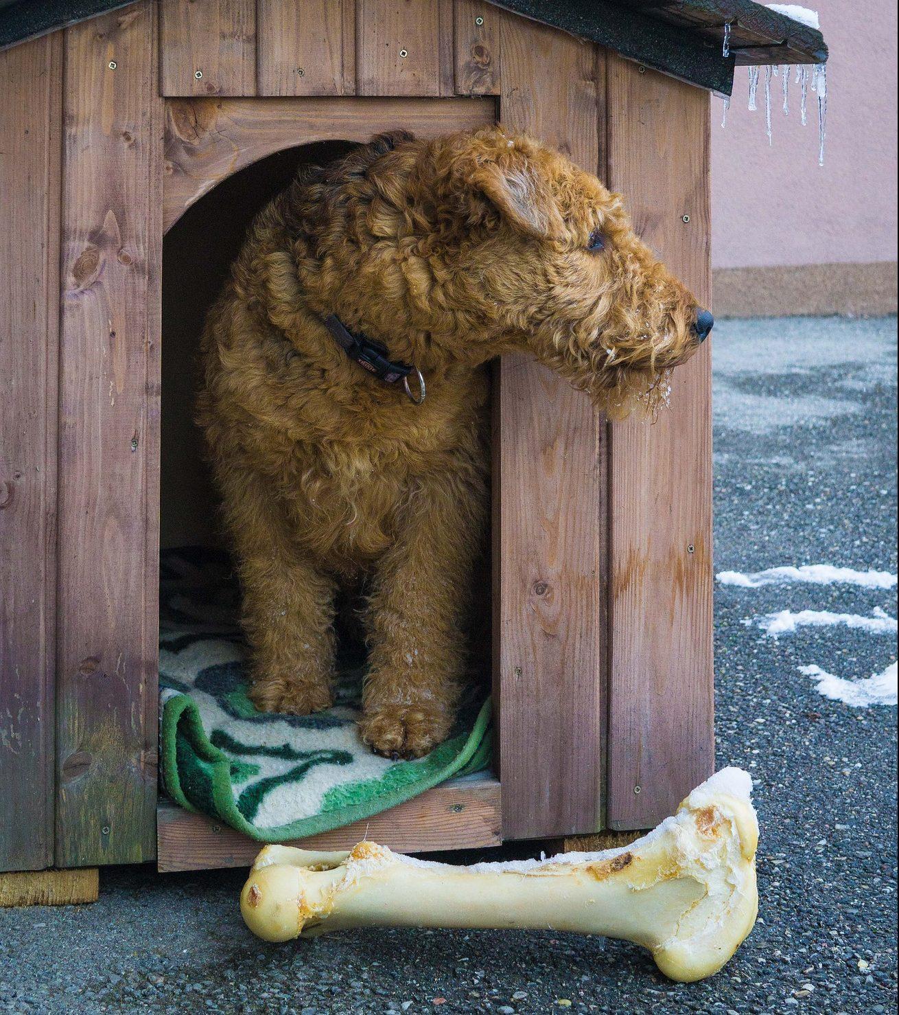 perro caseta con hueso