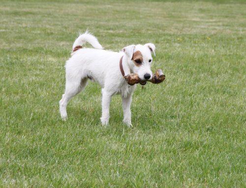Darle huesos a los perros, ¿es malo o bueno?