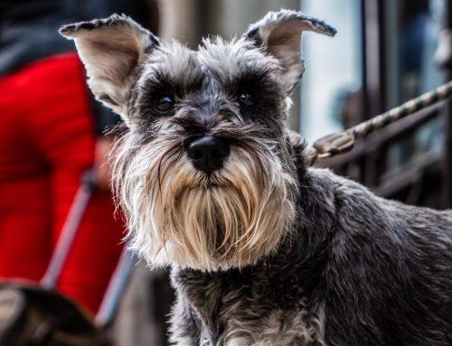 ¿Cuáles son las razas de perros aptos para alérgicos?