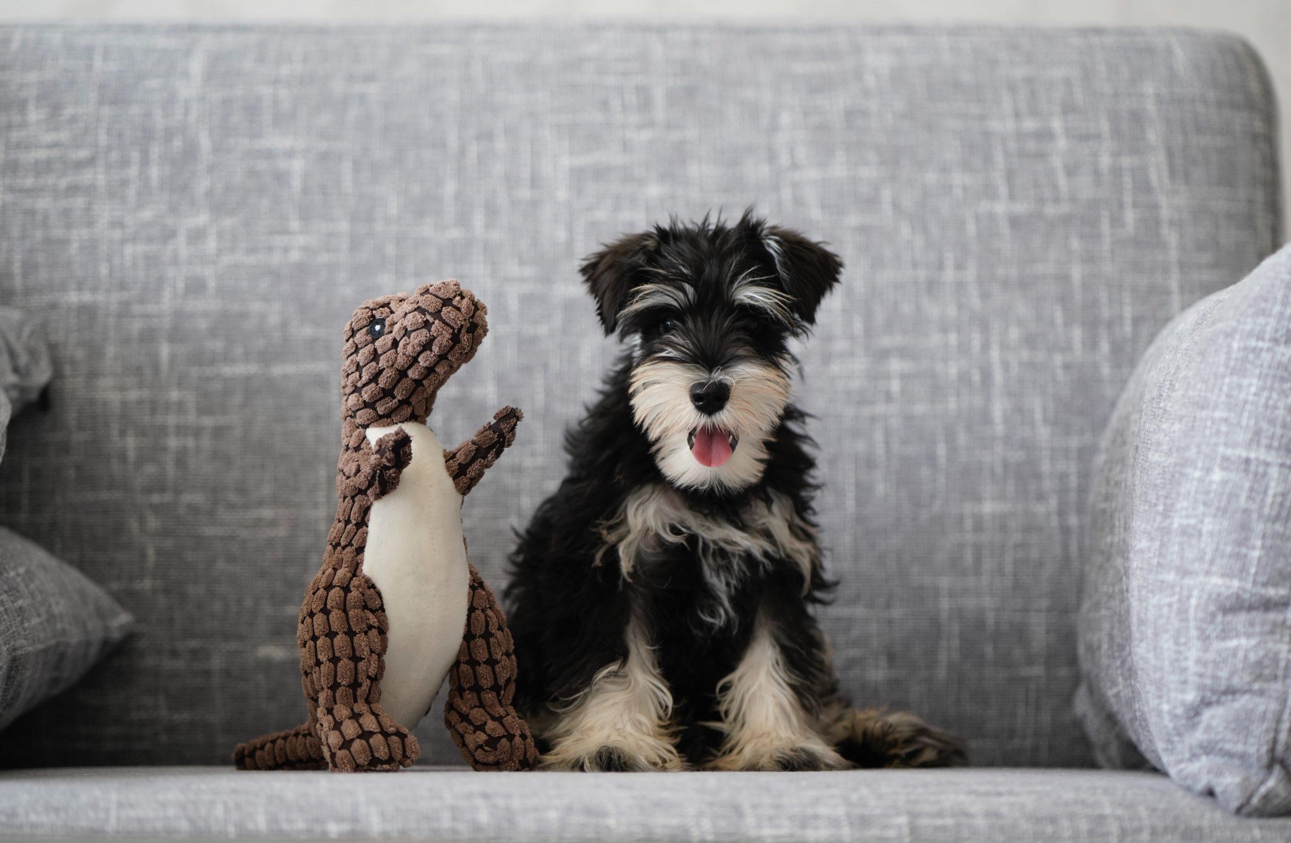 perro schnauzer en sofa con peluche