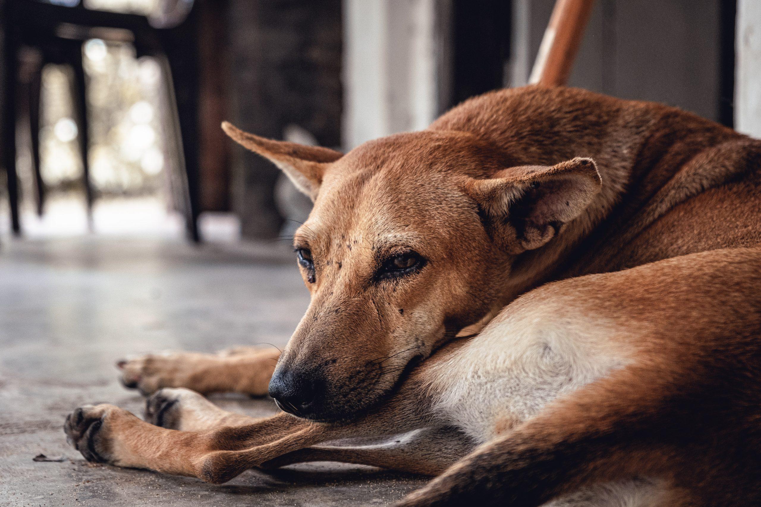 perro alicaído